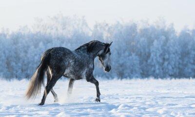 Fototapeta Samotny koń idzie na polu