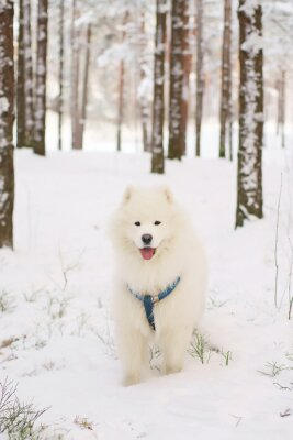 Fototapeta Samoyed psa pobyt w śnieżny las