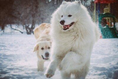 Fototapeta Samoyed uruchomiony w parku zimą
