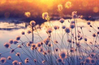 Fototapeta Scena Wiosny. Roślin trawa bawełniana nad wodą w belkach zachodzącego słońca.