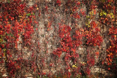 Fototapeta Ściany pokryte przez wielobarwnych liści jesienią tle.