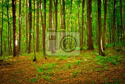 Fototapeta Ścieżka w pięknym lesie bukowym w pobliżu Rzeszów, Polska
