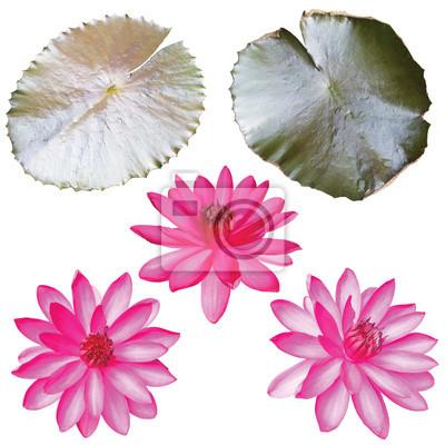 Fototapeta set of pink lotus isolated on white background