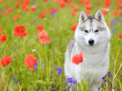 Fototapeta Siberian Husky - maki kwiaty