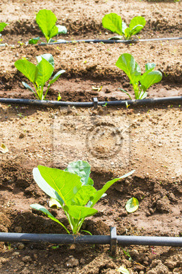 Sistema di irrigazione a goccia in un orto fototapeta for Sistema irrigazione a goccia