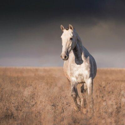 Fototapeta Siwy koń prowadzony