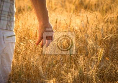 Fototapeta Slide rąk rzucił pole pszenicy - pojęcie zbiorów
