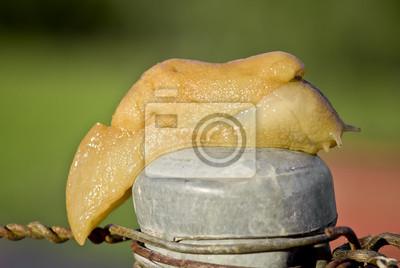 Fototapeta ślimak