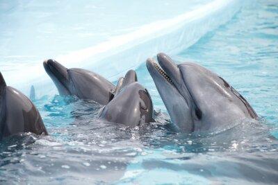 Fototapeta słodkie delfiny podczas przemówienia w delfinarium