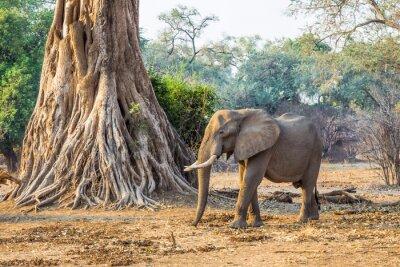 Fototapeta Słoń afrykański (Loxodonta), idąc obok dużego drzewa