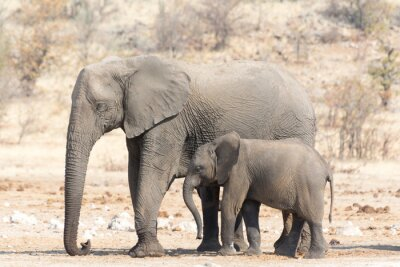 Fototapeta Słoń Krowa i Calw w Namibii