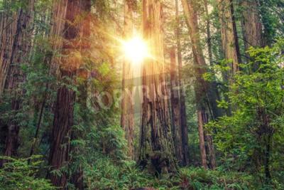 Fototapeta Słoneczny Redwood Forest w Północnej Kalifornii, Stany Zjednoczone. Motyw leśne.