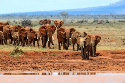 Fototapeta słoni afrykańskich w sawanny