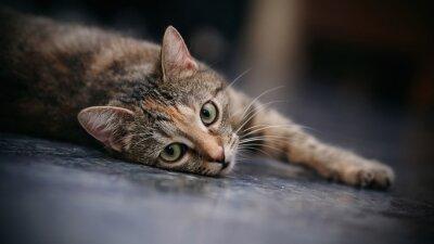 Fototapeta Smutny kot w paski z białymi wąsami