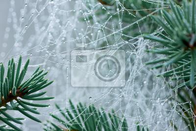 Sosna oddziału z pajęczej sieci lub pajęczyna z kropli wody po deszczu