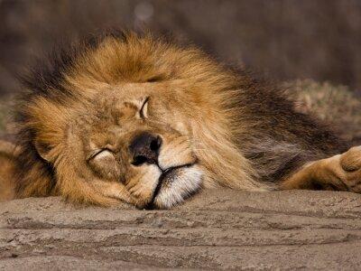 Fototapeta Śpiący lew