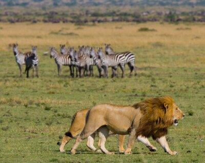 Fototapeta Spotkanie Lew i lwica na sawannie. Park Narodowy. Kenia. Tanzania. Masai Mara. Serengeti. Doskonałą ilustracją.