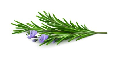 Fototapeta Sprig of fresh flowering rosemary isolated on a white background. Realistic vector illustration