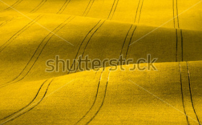 Fototapeta Spring Wavy yellow rapeseed field with stripes and wavy abstract landscape pattern. Corduroy summer rural rape landscape.Yellow moravian undulating fields of crops.Yellow Background texture