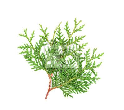 Sprout z Thuja lub arborvitae samodzielnie na białym tle.