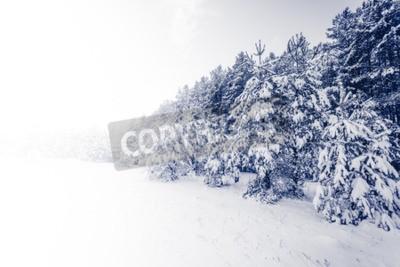 Fototapeta Spruce Tree mglisty las pokryte śniegiem w zimowy krajobraz