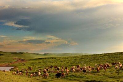 Fototapeta Stado krów wypasanych na mongolskiej łące