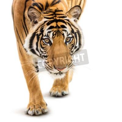 Fototapeta Stalking młode tygrysa syberyjskiego na białym tle
