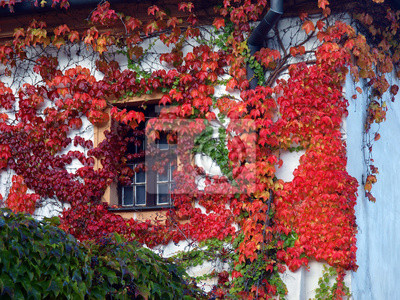 Fototapeta Stare ściany i okna pokryte czerwonym zielonym i pomarańczowym liści bluszczu boston Winobluszcz trójklapowy Veitchii