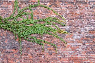 Fototapeta Stary czerwony mur porośnięty bluszczem