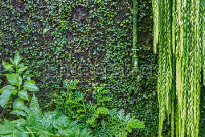Fototapeta Stary zielony podlewanie kran na ścianie przerastającej z zielonym bluszczem i pełzaczem, ogrodowy zielony tło. Mokre zielone rośliny