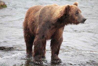 Fototapeta Stojący Niedźwiedź, Katmai