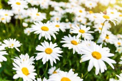 Fototapeta Stokrotka kwiaty