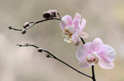Fototapeta Storczyk - Orchidea