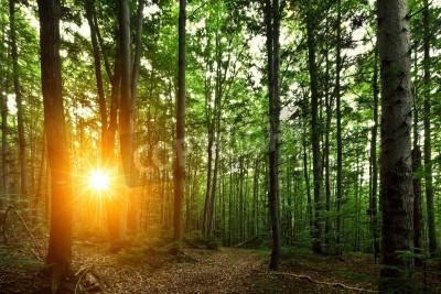 Fototapeta summer beech forest in morning