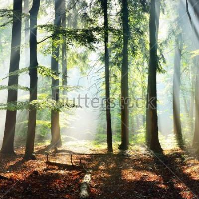 Fototapeta Sun rays in a fog in a misty morning green forest. Osnabruck, germany