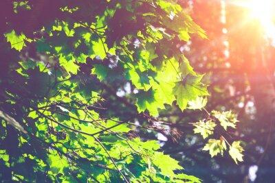 Fototapeta Sunny zielone liście klonu