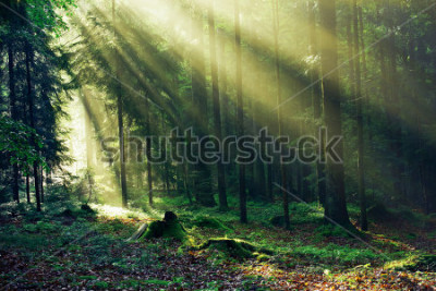 Fototapeta Sunrays reaching through the Fir Trees in the Morning after heavy Rain