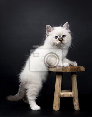 święty Kot Birmański Stoi Z Przodu łapy Na Drewnianym Stołku