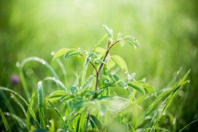 Fototapeta Świeża zieleń trawy z kroplami wody na tle promieni słonecznych. nieostrość