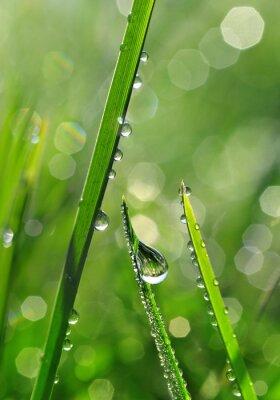 Fototapeta Świeże zielona trawa z krople rosy z bliska. Nature Background