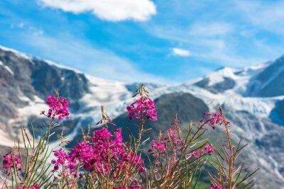 Fototapeta Swiss Apls z dzikimi różowe kwiaty