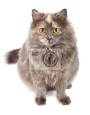 Szary Kot Fototapeta Fototapety Puchaty Długie Włosy Kot
