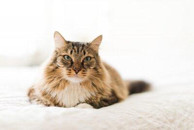 Fototapeta Szary kot leżący na łóżku