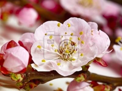 Szczegóły kwiat wiśni