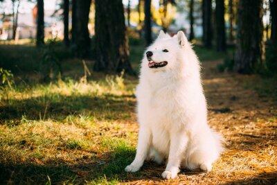 Fototapeta Szczęśliwy Biały Samoyed psa odkryty w lesie