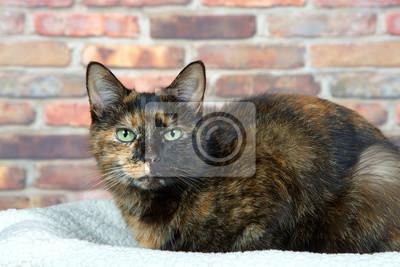 Szylkret Szylkret Kot Leży Na Owczej łóżku Przez Mur Patrząc