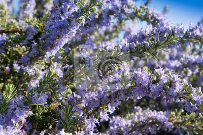 Fototapeta The rosemary plant in bloom