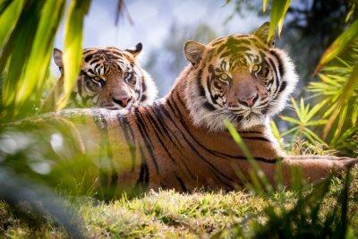 Fototapeta Tiger Bracia