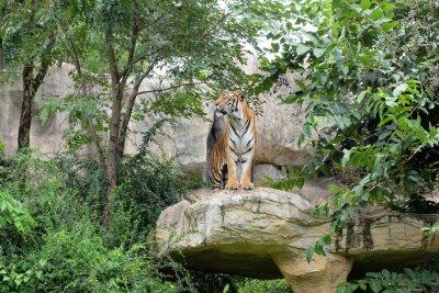 Fototapeta Tiger jest okrutny stawki.