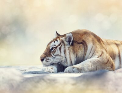 Fototapeta Tiger odpoczynku na skale